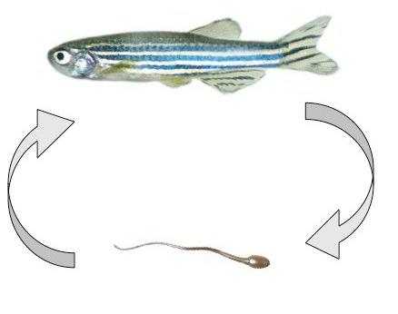 zebrafish-sperm